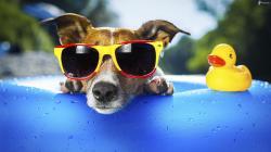 Chien lunettes de soleil canard piscine